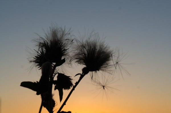 Siluett av en blomma med kvällshimlen som bakgrund